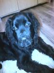 Pension Canine près de Neufchatel-en-Bray - Barney tête idiote