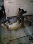 Pension Canine Près de Neufchatel en Bray - Jaya et Leynonn