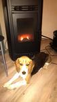 Educateur Canin Neufchatel-en-Bray - Joe au séchage devant le poele à granule (ca souffle!)
