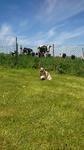 Education Canine près de Rouen - Jepsy surpris par les vaches