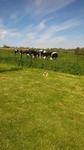 Pension Familiale près de Neufchatel-en-Bray - Jepsy, même pas peur de vaches !